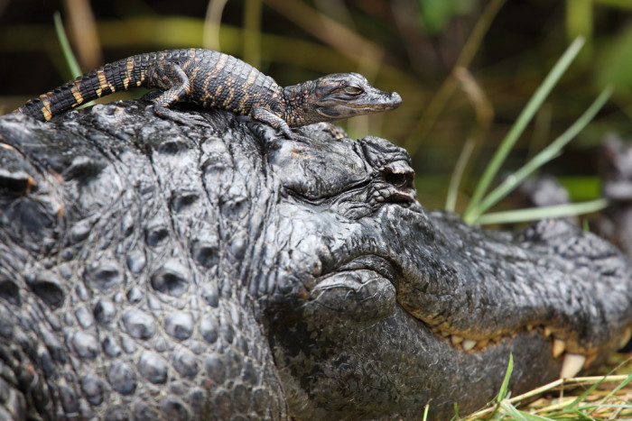 2. Baby Gator Hitching A Ride On Mama