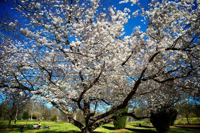 6) A tree in bloom in Midtown.