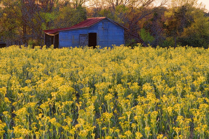 6) Blue Barn In A Field Of Yellow Wildflowers (Falls County)