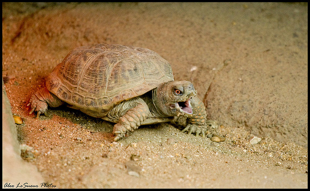 6. Angry turtle by Alex LeSueur