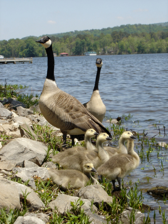 10. This geese family is beyond adorable, don't ya think?
