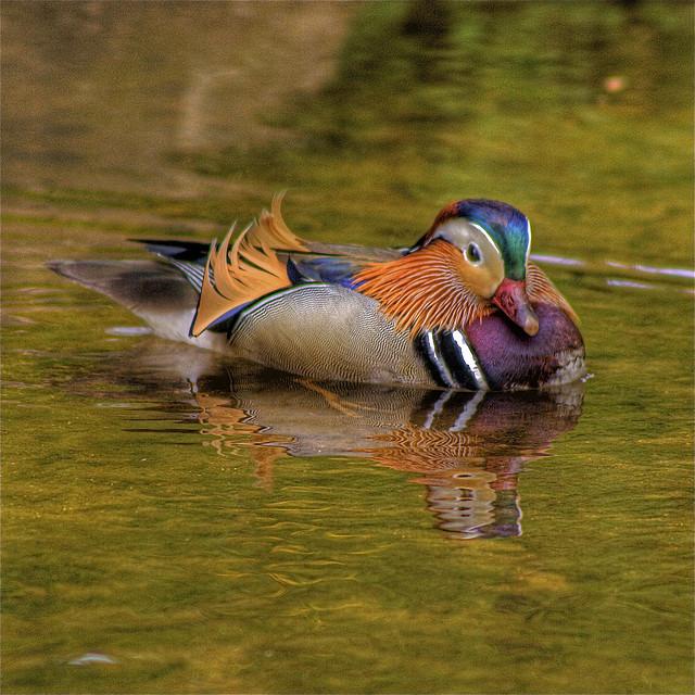 11. 'Male Mandarin Duck' by Angi English