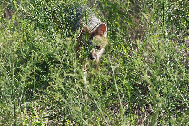 9. Fox in the Field