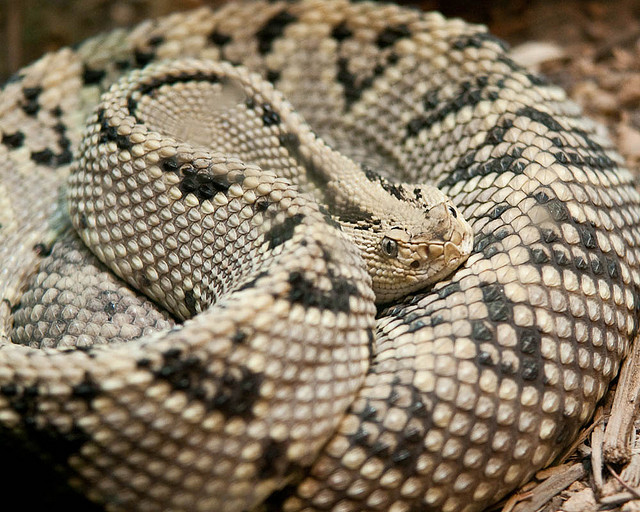 6) Snakes..big, scary rattlesnakes, copperheads, cottonmouths, and coral snakes.