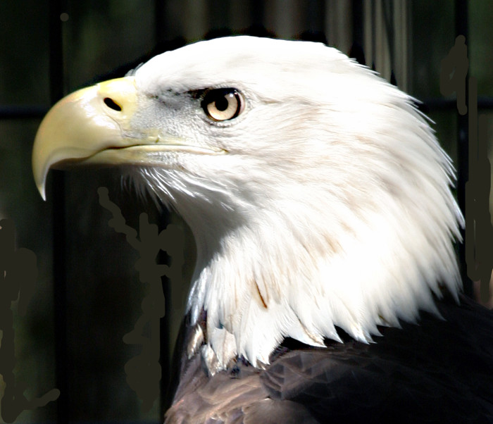 Bald Eagle, Savannah GA