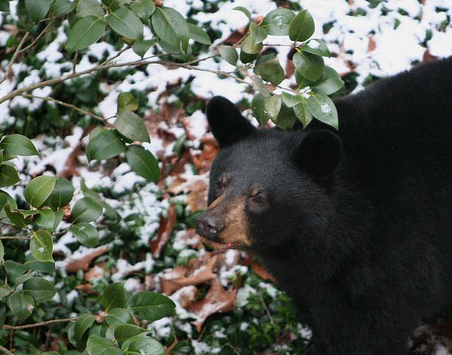 6. Black Bear in the Snow