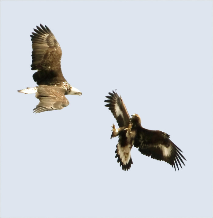 4.) Bald and Golden Eagles