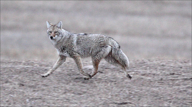 5. Coyote populations were intentionally planted in Pennsylvania.