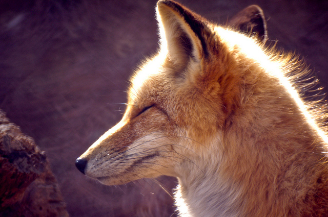 """17. """"Red Fox"""" by Wes Hill"""