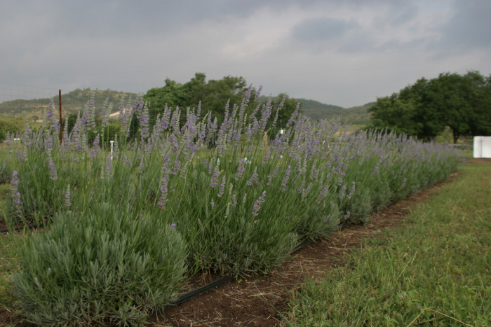 9) Visit one of the lavender farms to tour the beautiful gardens and even cut your own lavender!
