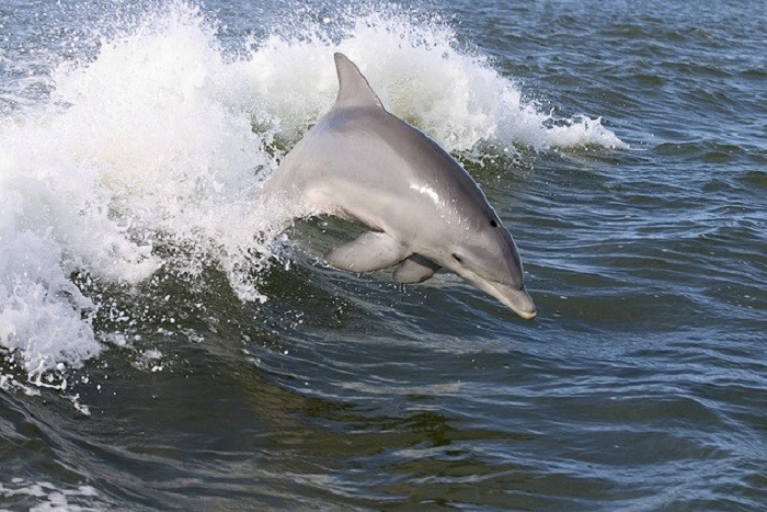 13. A dolphin showing off his jumping skills in Orange Beach, Alabama.