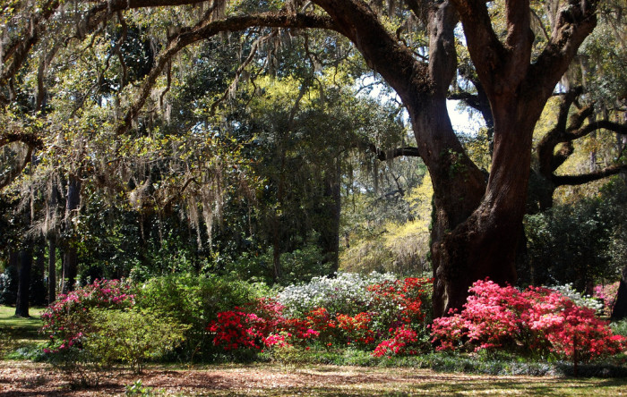5. Our Gorgeous Trees with Hanging Spanish Moss