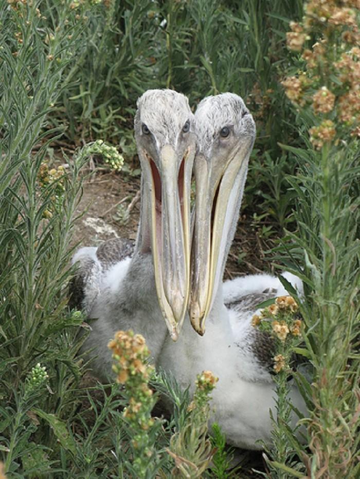 5. A pair of pelicans on Gaillard Island in Mobile Bay, Alabama.