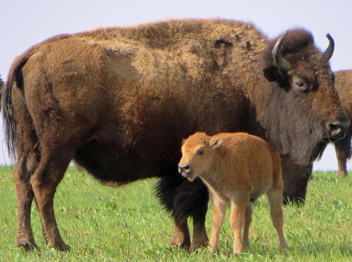 3. This bison with it's adorable calf