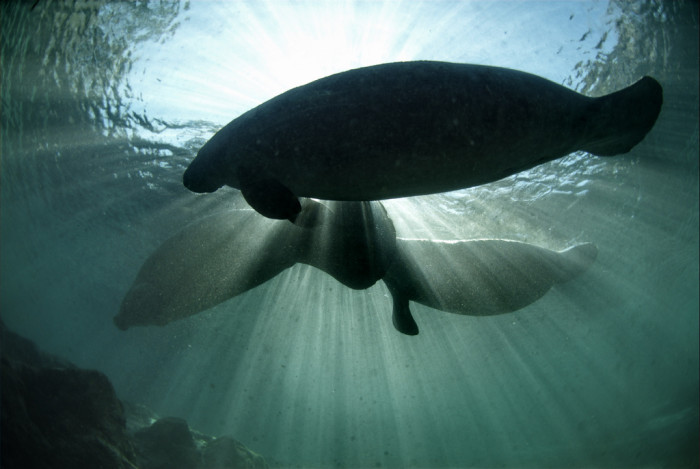15. Manatees in Crystal River National Wildlife Refuge