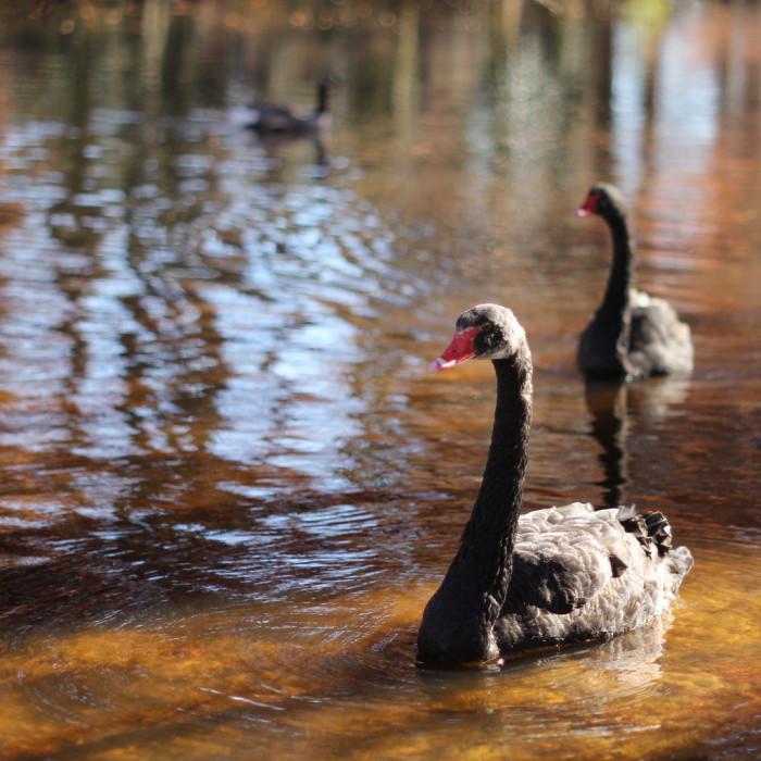 25. Swan Lake Iris Gardens, Sumter, SC