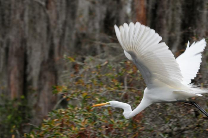 Great Egret, Okefenokee Swamp