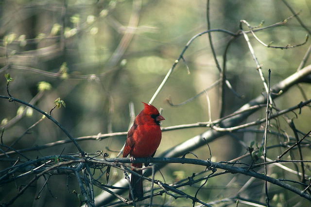 """15. """"Red Bird"""" by angelo Yap"""