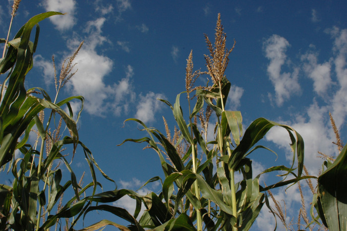 5. Iowa ranks first in the nation in corn and soybean production