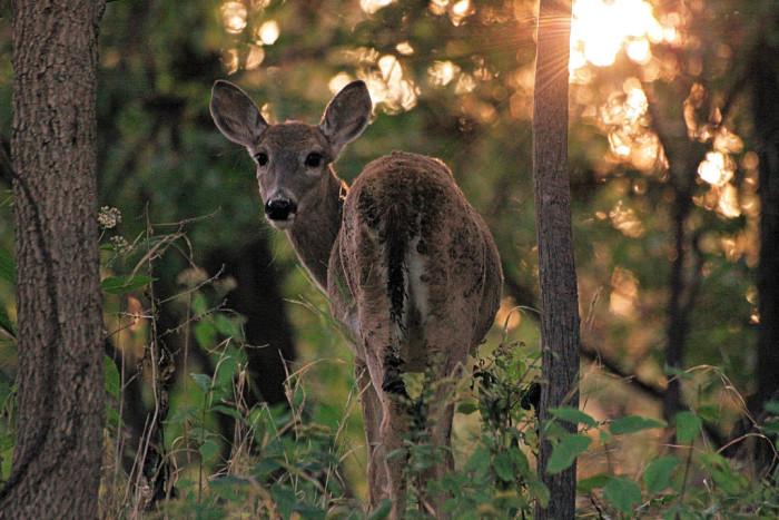 4. This curious, neighborhood deer