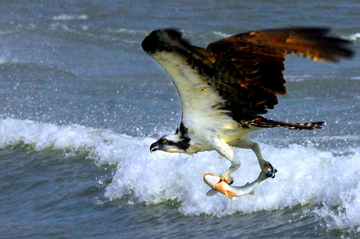 9. Osprey Grabbing Some Seafood