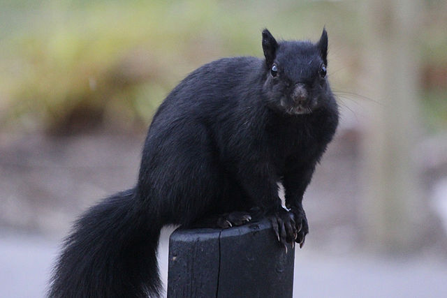 9) Black squirrel