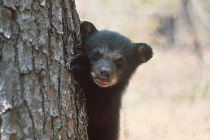 12. Florida Black Bear cub peeking around tree
