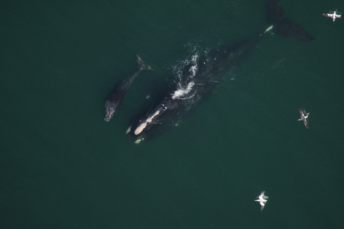 10. Mother and Calf Right Whale