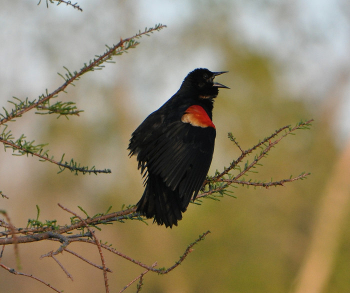 8) Red winged black bird at Spring Valley Wildlife Area