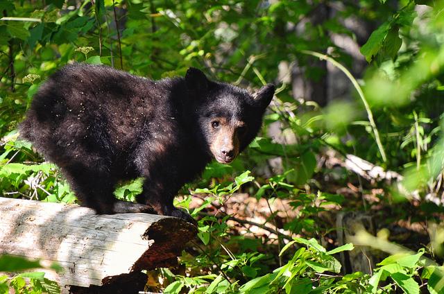 "9. ""Baby Bear"" captured near Fontana Dam by Steve Petrucelli"