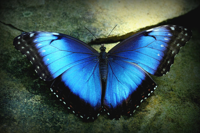 18) An unreal photo of a Blue Morpho butterfly at the Fort Worth Botanical Gardens.