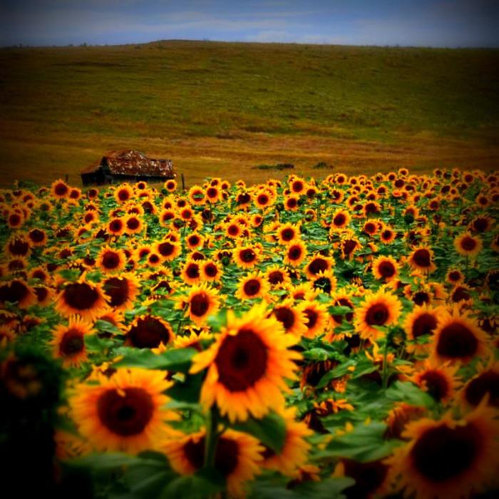 10. A beautiful sunflower field in bloom.