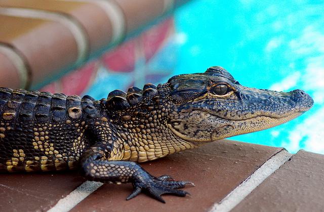 13. We all have alligators.