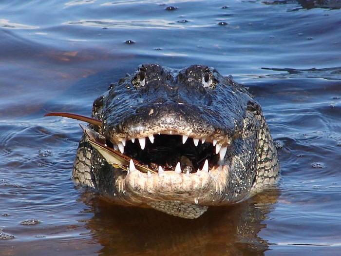 2. Gators