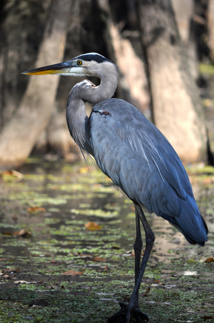 5) Great Blue Heron