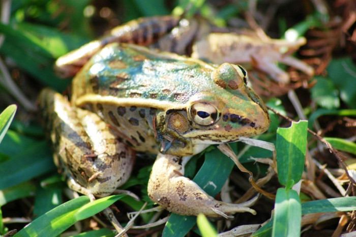 8) Southern Leopard Frog