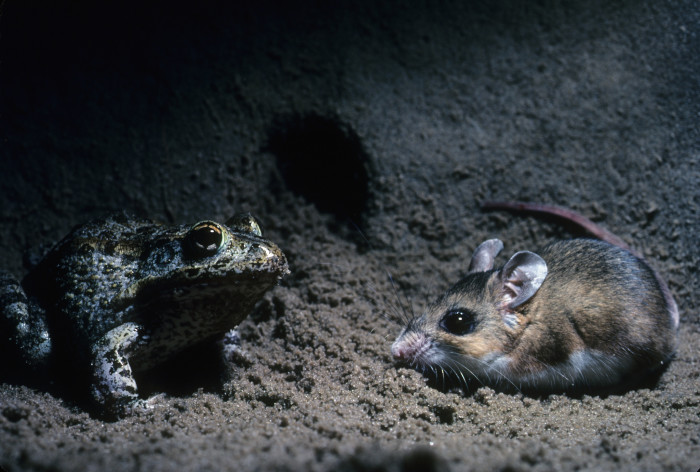 14. Gopher Frog and Florida Mouse in a gopher tortoise burrow