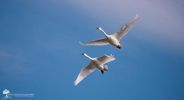 1. 'Swans in Flight' by Zach Frailey