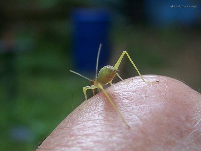 Tiny Green Cricket (Common Conehead),  Talking Rock, GA