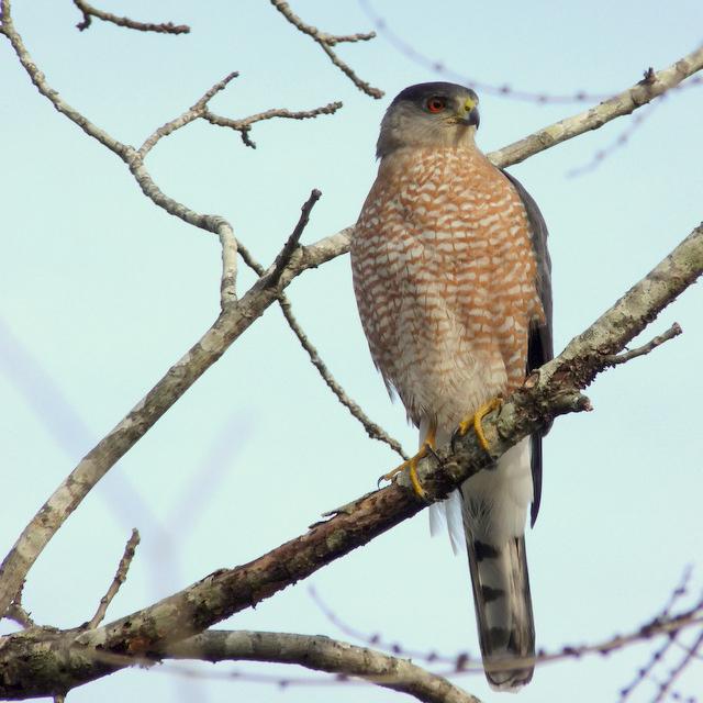 """3. """"Cooper's Hawk"""" by Virginia 'Ginny' Sanderson"""