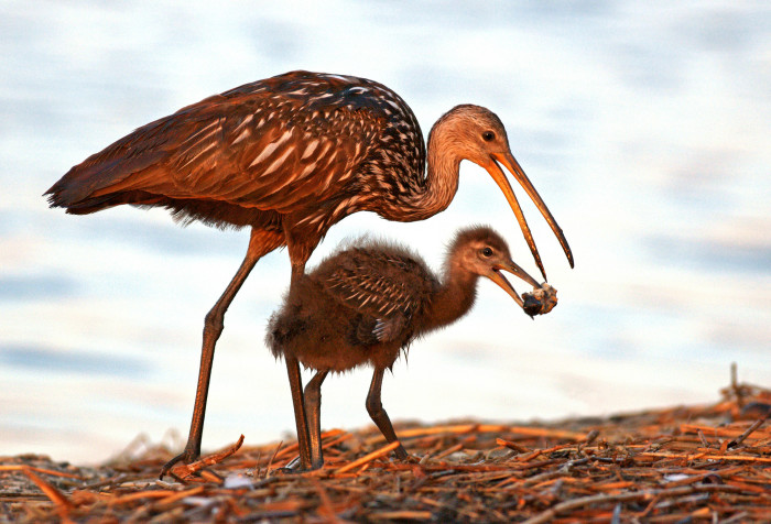 5. Mother and baby Limpkin