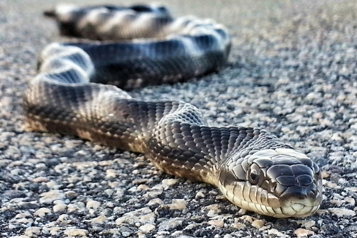 Black Rat Snake in Fayette County, GA