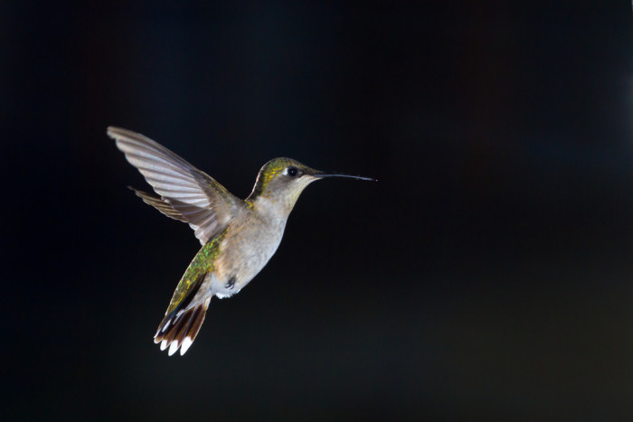 7. This tiny hummingbird hovering near some food