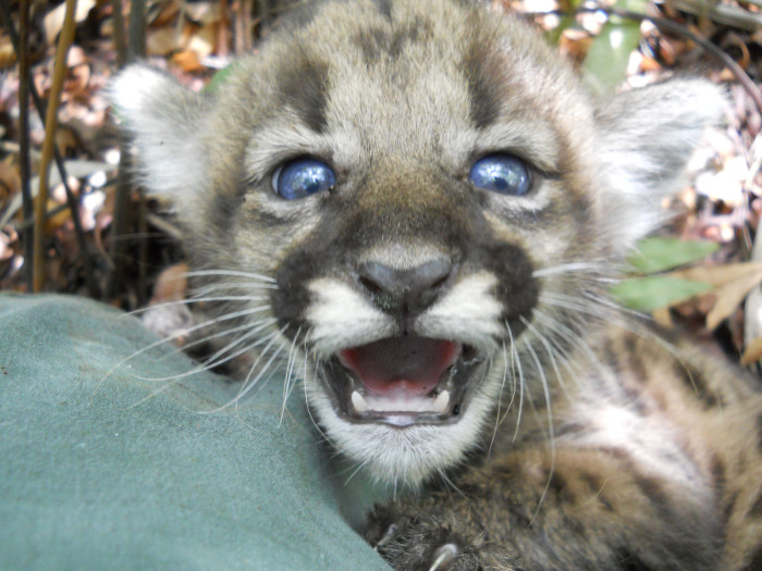 3. Orphaned Panther kitten found in the Fakahatchee Strand