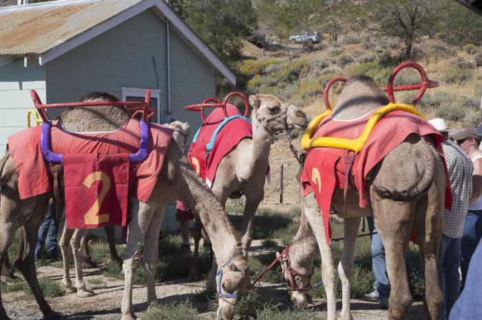 16. It's illegal to drive a camel on any highway in Nevada.