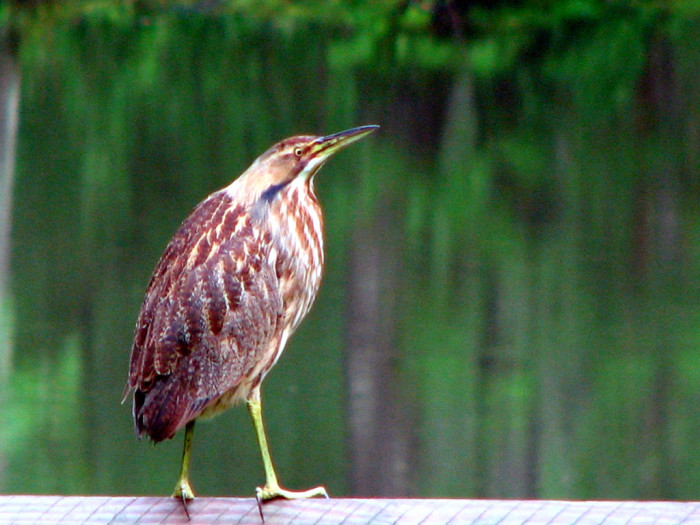 15) Look at this stunning American Bittern.