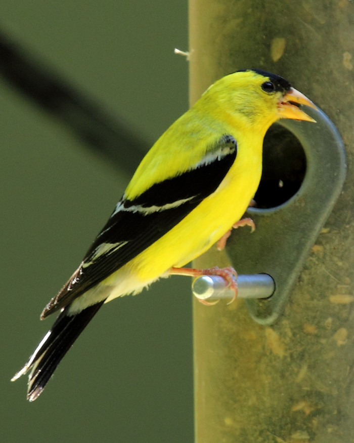 8. American Goldfinch