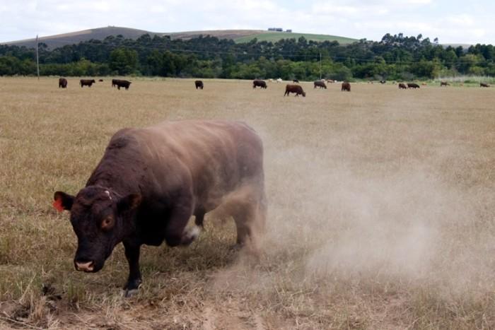 10. The Bull