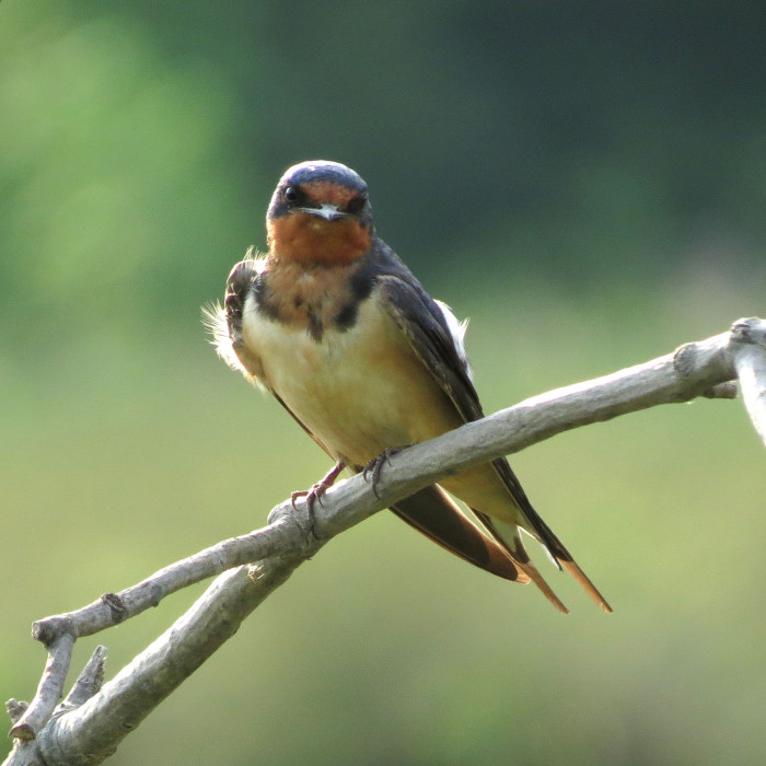 9. A Sweet Little Barn Swallow At Huntley Meadows Park