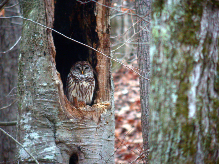 13) Here's a brooding barred owl.